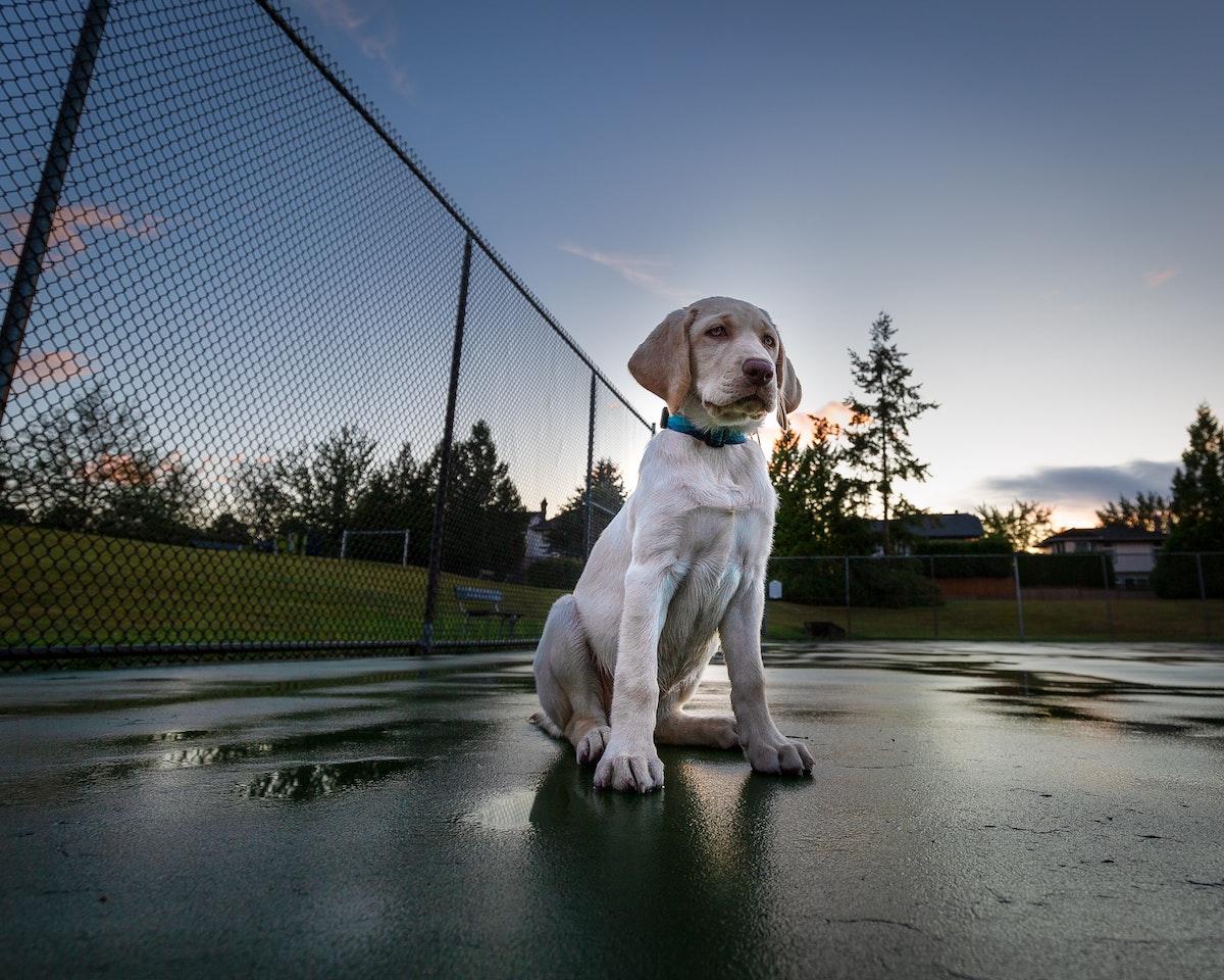 perros y coronavirus